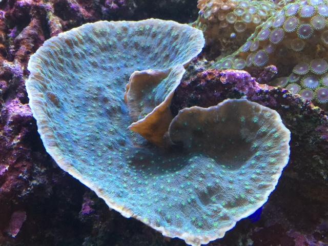 Calcium im Meerwasser - KH Abfall durch stark wachsende Korallen