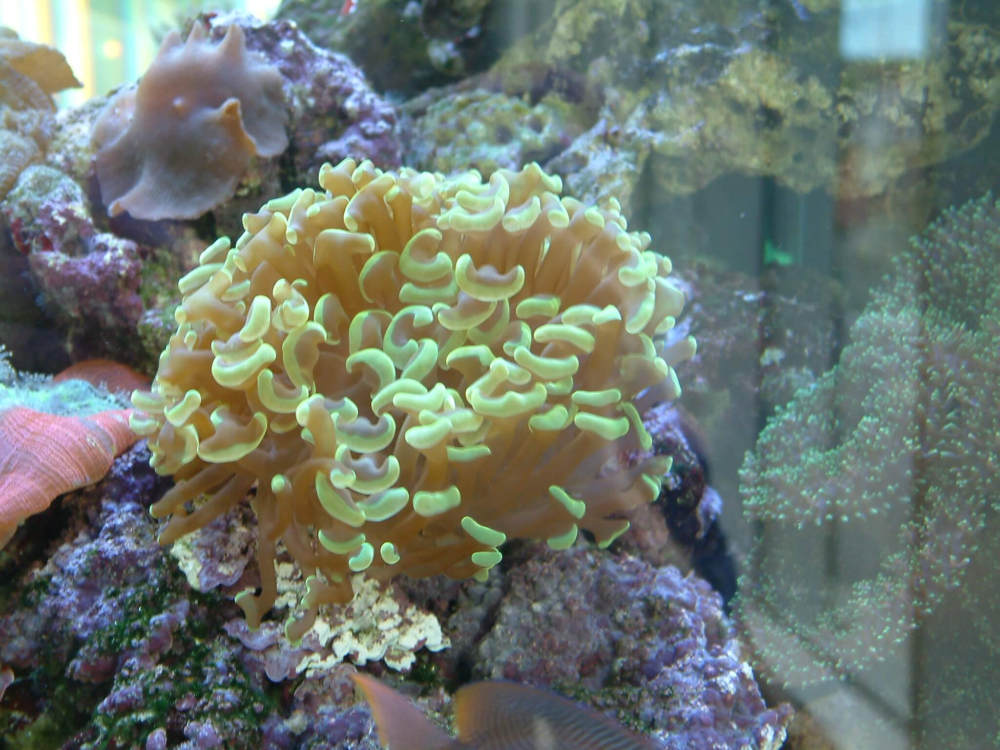 beliebte lps korallen f r anf nger im meerwasseraquarium. Black Bedroom Furniture Sets. Home Design Ideas