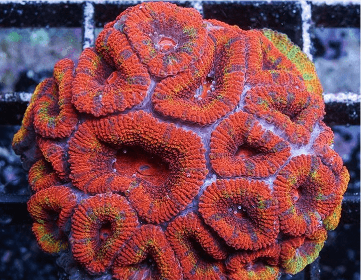 Korallenzucht 1