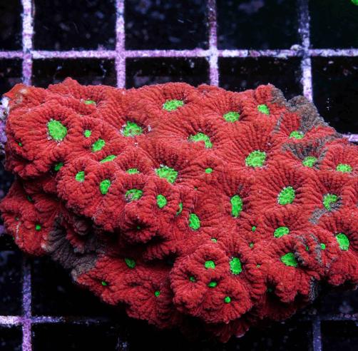 Korallenzucht 2