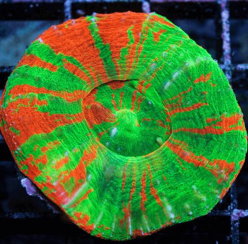 Korallenzucht 7