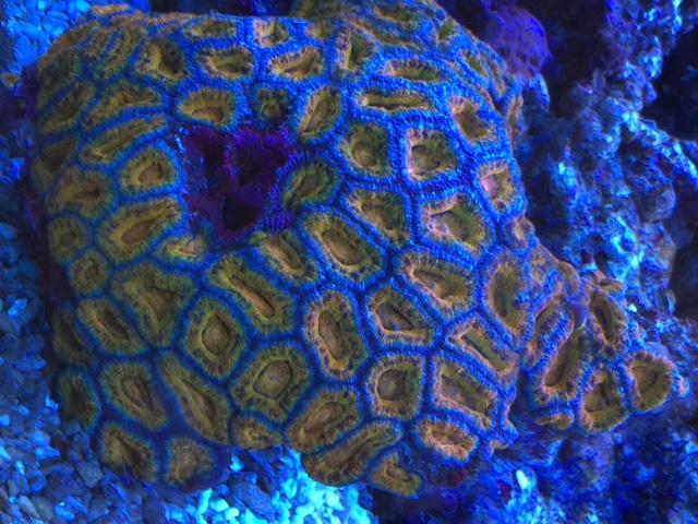 anspruchlsoe LPS Koralle für Anfänger