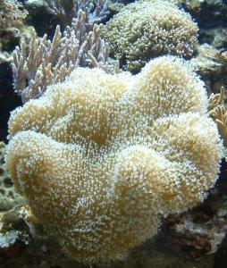 Weichkorallen verbrauchen Magnesium im Meerwasseraquarium
