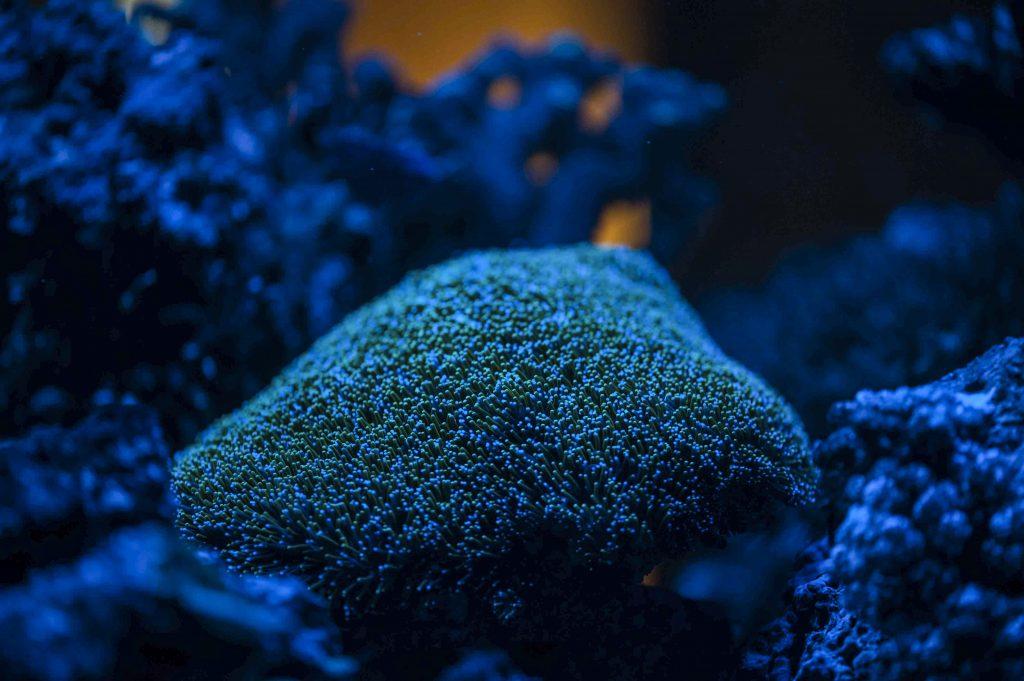 LPS Korallen für Anfänger