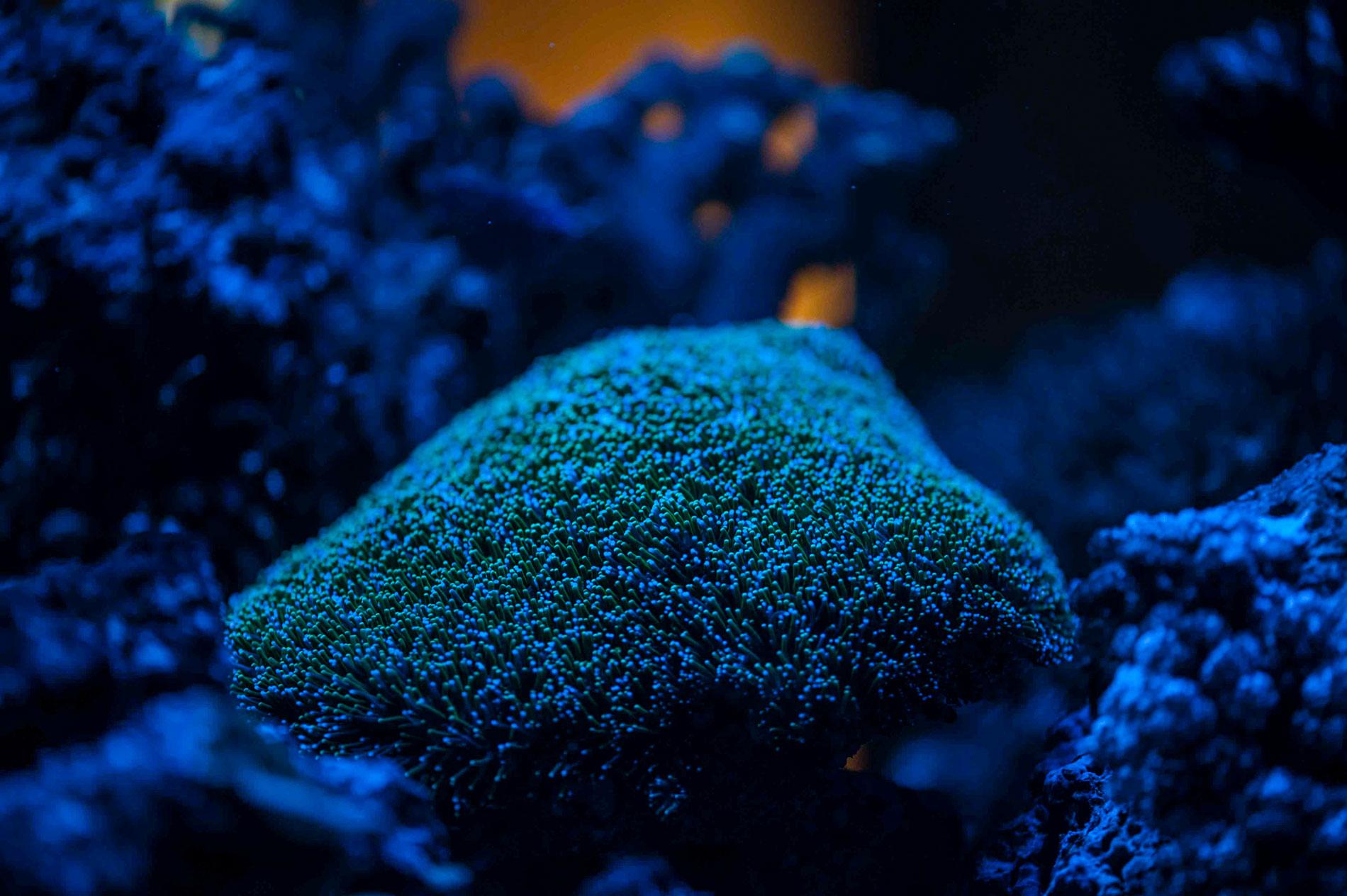 instabiler Salzgehalt führt zu Stress für Korallen