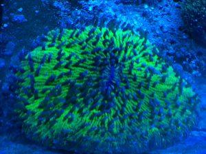 neongrüne Fungia durch Wasserwechsel im Meerwasseraquarium