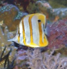 Pinzettfisch München Aquaristik