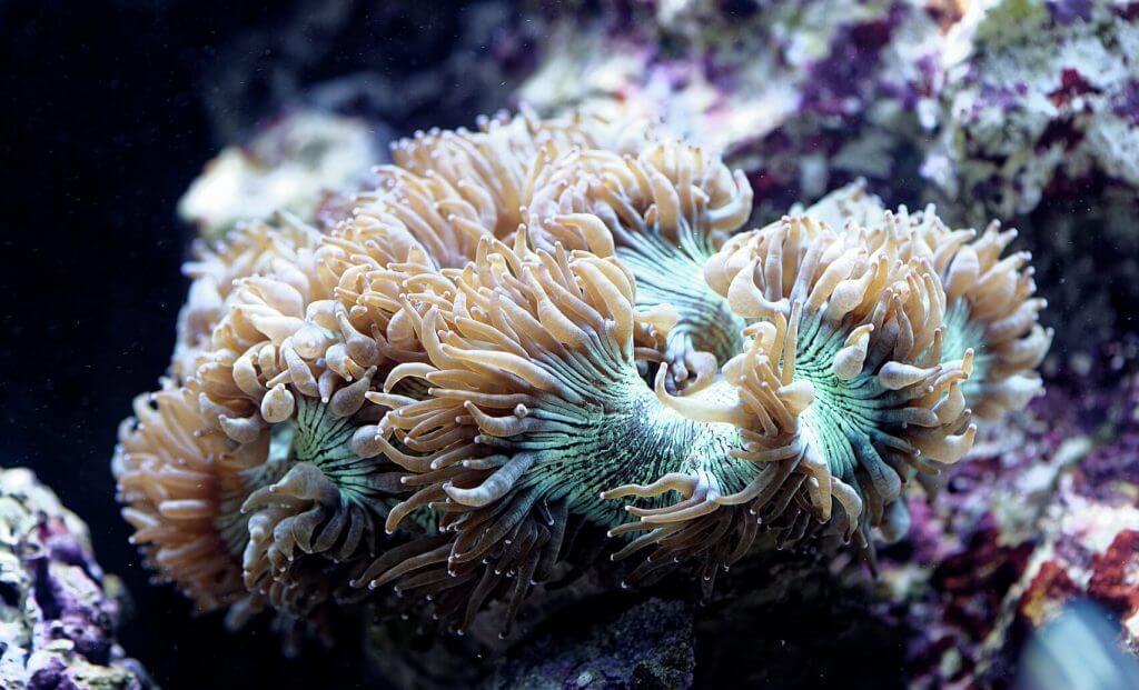Catalaphyllia jardinei ist eine LPS Korallen für Anfänger
