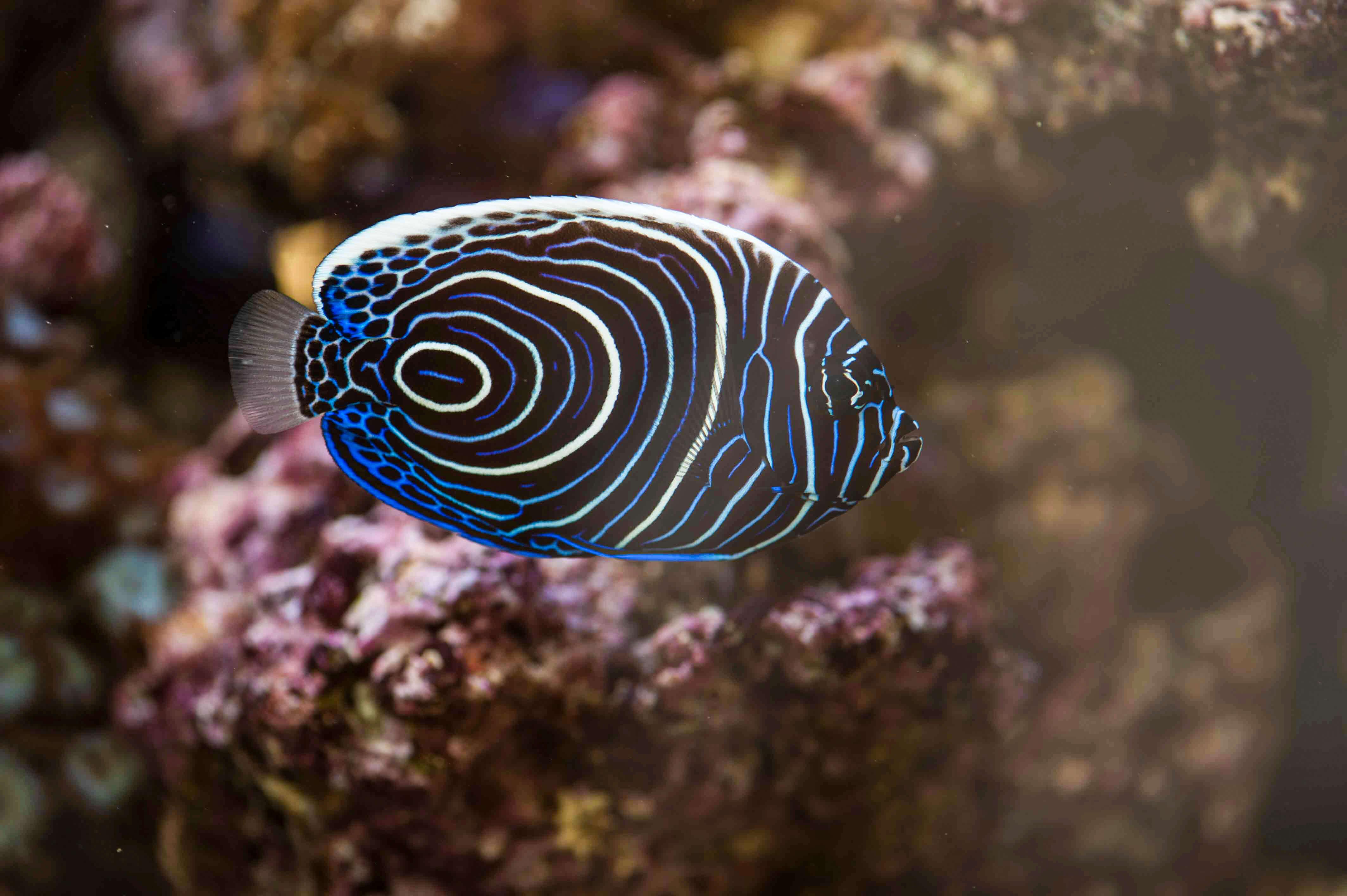 Meerwasserfische Kaiserfisch