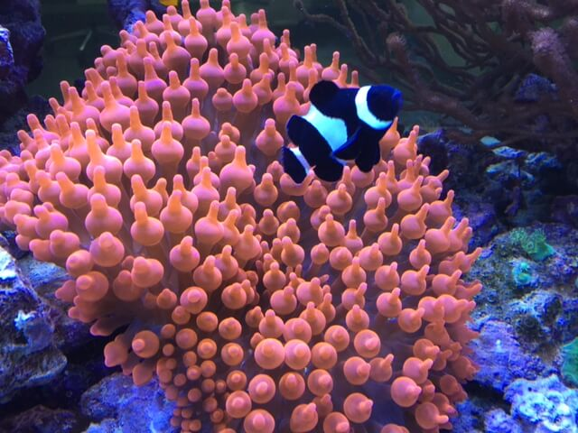 Anemonen und Strömung im Meerwasseraquarium
