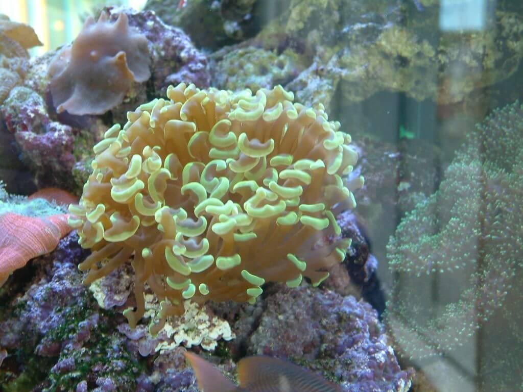 Anfänger LPS Koralle auch für EInsteiger