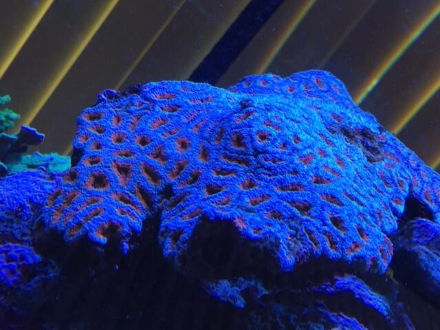 Hirnkoralle in Meerwasseraquarium München
