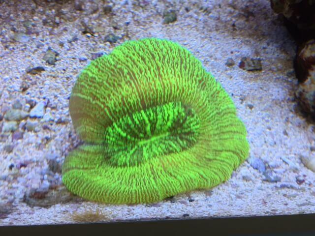 Wulstkoralle ist geeignet als LPS Korallen für Anfänger
