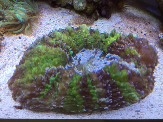 Blasenkorallen gehören zu den beliebtesten LPS Korallen für Anfänger