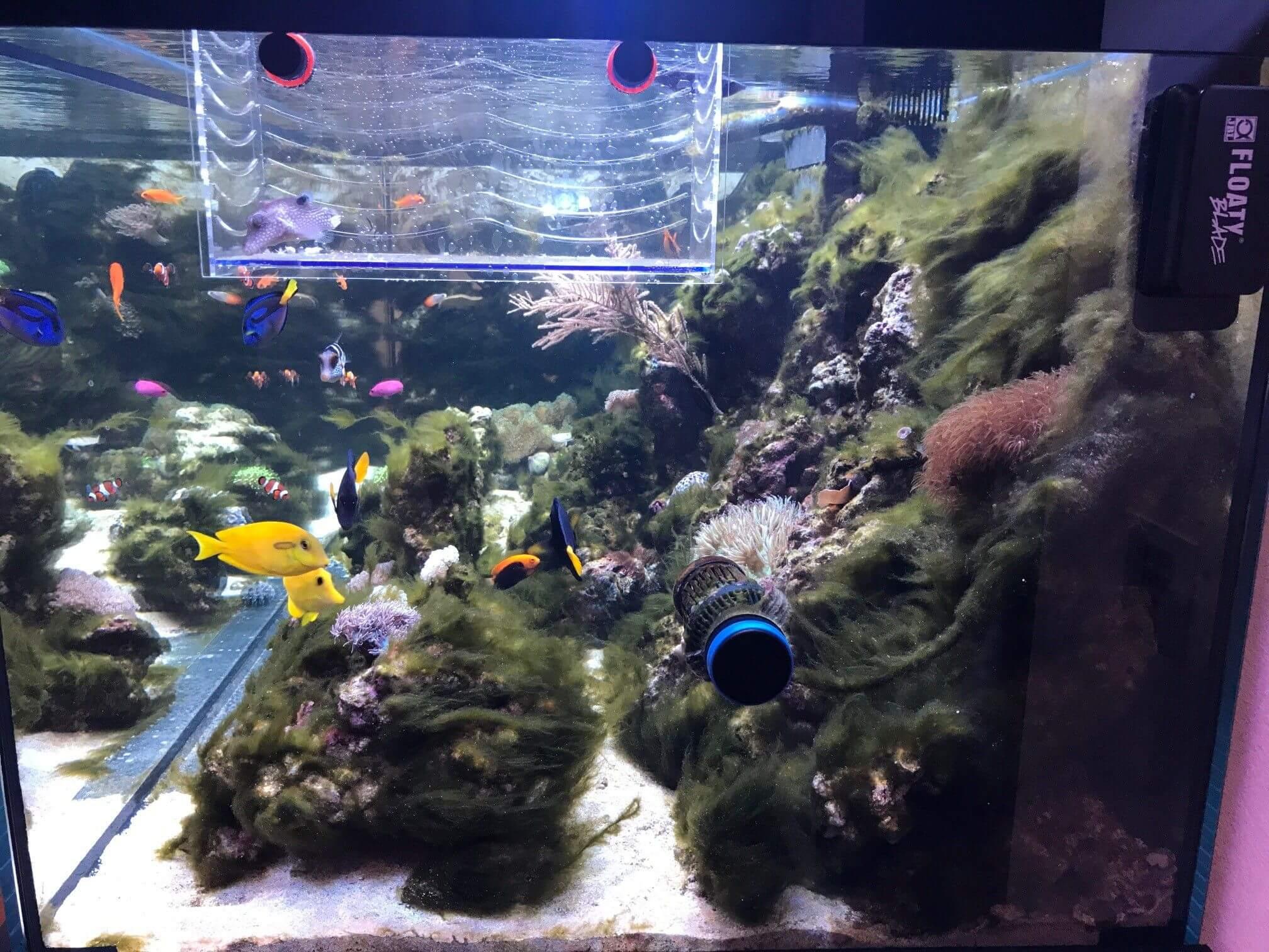 Fadenqlgen Meerwasseraquarium