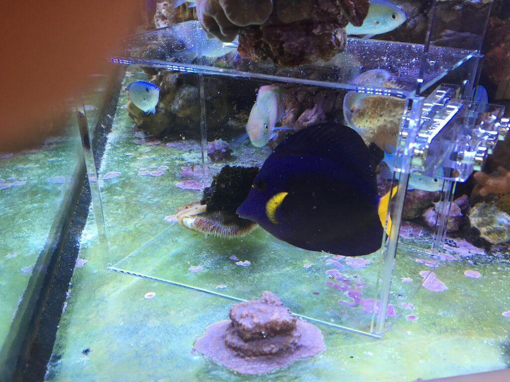 Kaiserfische im Meerwasseraquarium fangen mit der Fischfalle