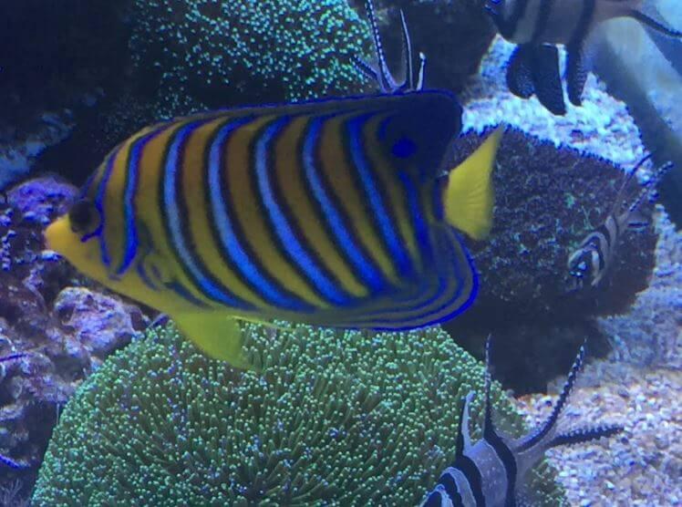 Pfauen Kaiserfisch im Meerwasseraquarium