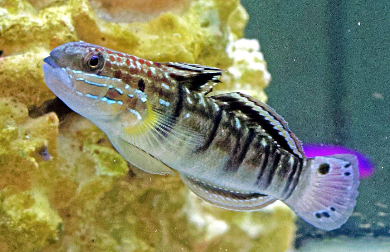 Bodengrund im Meerwasseraquarium richtig reinigen mit Phalaenagrundel
