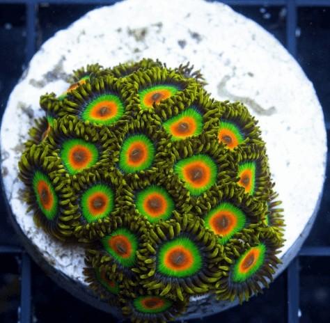 Korallenzucht Krustenanemone