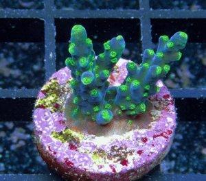 Korallenzucht Acropora
