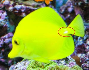 Doktorfische vergesellschaften